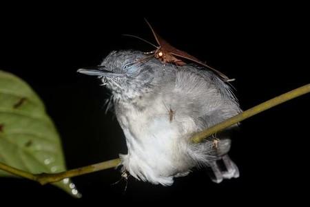 Las polillas pueden beber de los ojos de los pájaros