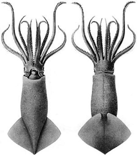 El extraño sexo del calamar que se parece a disparar con una metralleta de semen