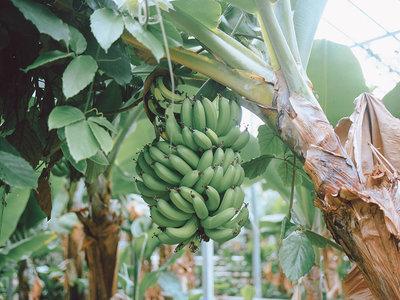 """¿Plátanos en Islandia? El secreto de este """"milagro tropical"""" es la lava del subsuelo"""