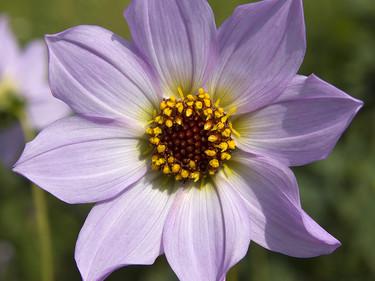 La Dalia, símbolo de la floricultura nacional, es también comestible