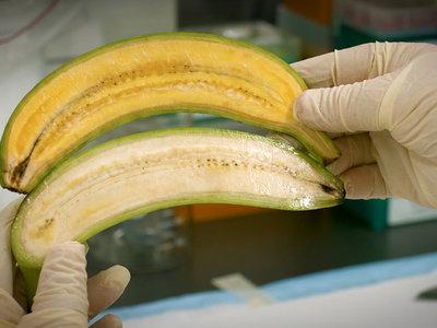Este plátano dorado podría salvar las vidas de miles de niños africanos