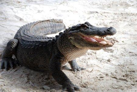 ¿Podría un cocodrilo sobrevivir en el ártico?