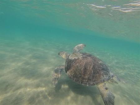 Las tortugas marinas son principalmente depredadores visuales, por eso confunden el plástico con su alimento
