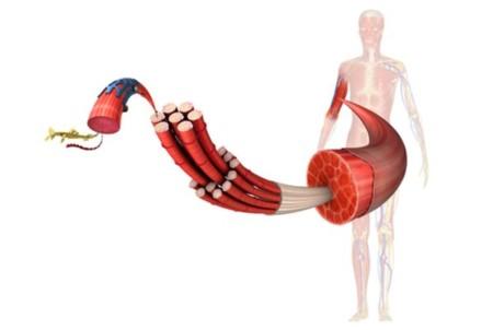 Importancia de la proteína a nivel muscular y cantidades recomendadas