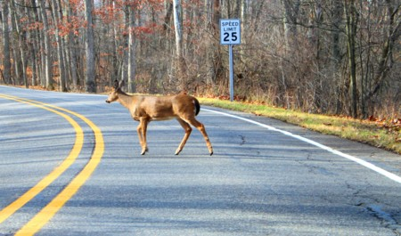 White Tailed Deer Crossing A Road Kensington Metropark Michigan