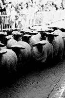 Formación Profesional: reunión de pastores, oveja muerta