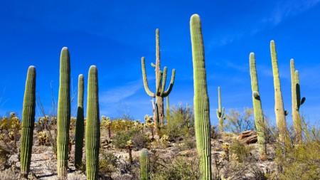 El saguaro, impresionante gigante del desierto de Sonora que guarda muchos secretos
