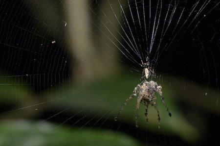 La araña titiritera: el primer animal que fabrica un títere de sí mismo