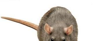 Singularidades extraordinarias de animales ordinarios (XLIII): la rata