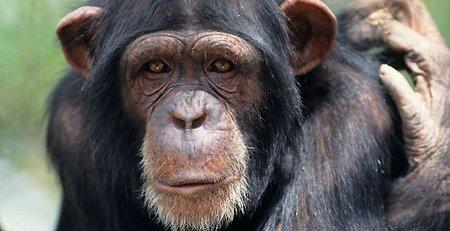 Los chimpancés en cautividad muestran graves problemas de conductas y trastornos mentales similares a los humanos