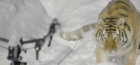 Se ha descubierto que el bonito vídeo de los tigres cazando un drone en el fondo tiene una historia nada bonita