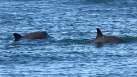 México suspende el rescate de la vaquita marina, después de la muerte del ejemplar que había sido rescatado