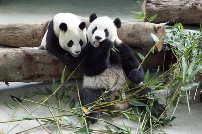[Vídeo] La oso panda del zoo de Madrid, inseminada de forma artificial
