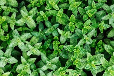 Hierbabuena: una planta con grandes beneficios para la salud así como una hierba aromática ideal para un huerto en casa