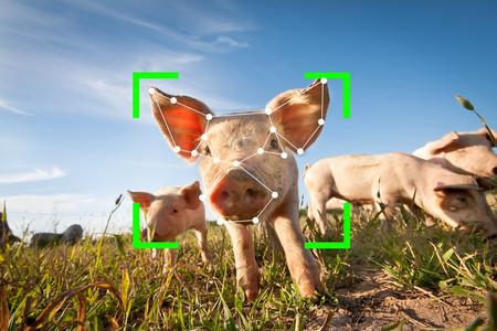 Reconocimiento facial para cerdos: así es como China plantea una nueva era de monitorización de animales