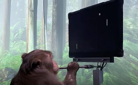 Este es el mono de Elon Musk que juega Pong con la mente: Neuralink muestra cómo será conectar el cerebro a una computadora