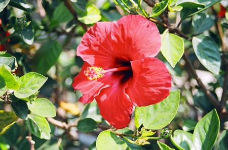 Características y propiedades de la flor de Jamaica