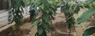 Hacia un chocolate 100% andaluz: el primer cacao de Europa se está cultivando con éxito en Málaga