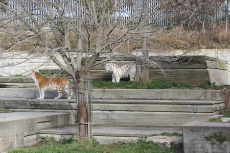 Una tigresa dorada llamada Dora llega al Zoo Aquarium de Madrid para acompañar a Falcao
