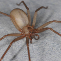 Una más a la terrorífica y letal lista, han descubierto una nueva especie de araña violinista en México
