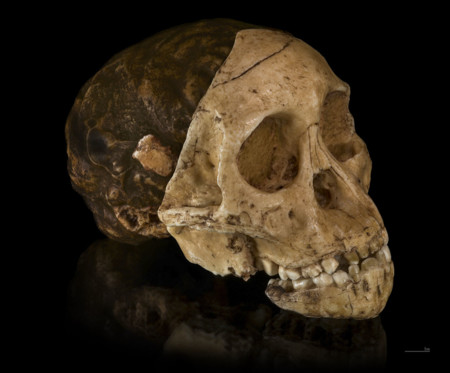 1086px Australopithecus Africanus Cast Of Taung Child