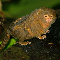 La especie de mono más pequeña del mundo y pesa apenas 100 gramos