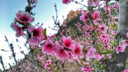 Cieza floración melocotón