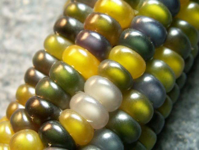 Maiz Multicolor 5