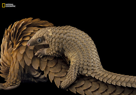 Pangolin Photo Ark