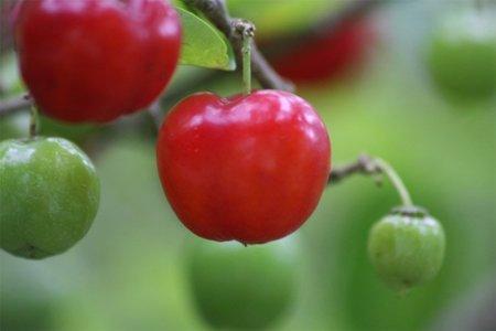 La acerola, una fruta cargada de vitamina C