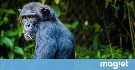 La increíble creatividad de los chimpancés a la hora de hacerse con una de sus comidas más preciadas: la miel
