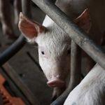 Advierten científicos sobre posible nuevo virus pandémico de influenza procedente de cerdos en China