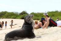 [Vídeo] Las Galápagos luchan por sus lobos marinos