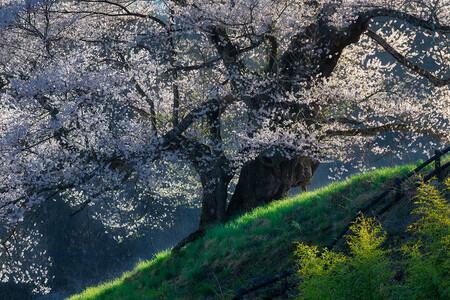 Japon Cerezos