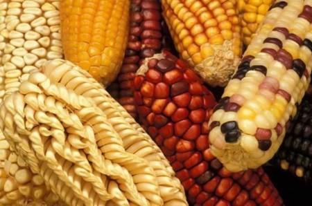 Diversos tipos de maiz