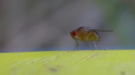 Esta mosca tiene un 30% más de esperanza de vida con solo activarle un gen