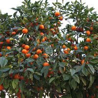 "Un paseo por ""la cuna de la naranja"" en Carcaixent, Valencia"