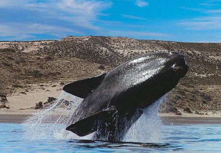 Se transmite por internet la llegada de ballenas a Península Valdés