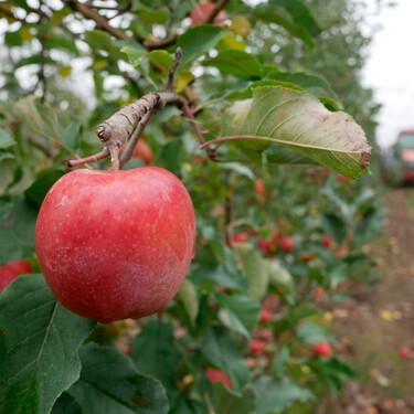 La incansable búsqueda de la manzana rosa (o por qué le importa tanto a un agricultor el color de su fruta)