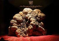 La trufa blanca más grande del mundo fue encontrada en Italia