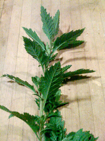 Epazote-planta