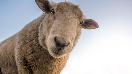 Sheep 1822137 960 720