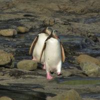 Pingüinos saltando coníferas de 180 millones de años: el bosque petrificado de Curio Bay, Nueva Zelanda
