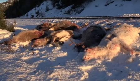 Los trenes noruegos son máquinas de matar: 110 renos han sido arrollados por su culpa en cuatro días