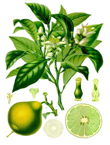planta bergamota