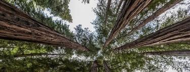 Un bosque de secuoyas en Cantabria