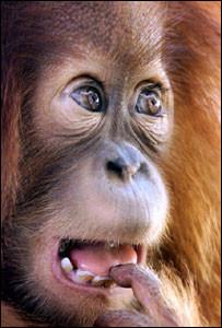 Los niños de dos años son mejores imitadores que los monos según estudio