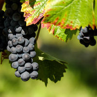 Ya está lista la «súper uva» del mundo de las uvas: resiste las plagas sin apenas pesticidas y no ha sido alterada genéticamente