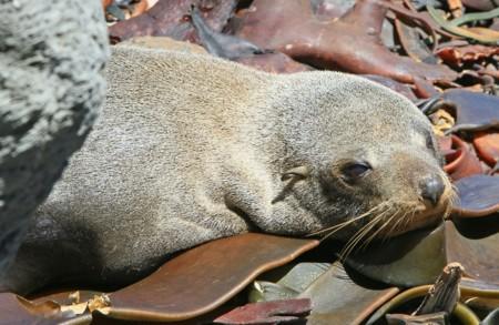 Fur Seal 93493 1920