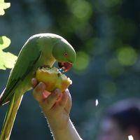 Así fue cómo los periquitos conquistaron Londres: lo que los pájaros verdes nos pueden enseñar sobre las mascotas exóticas